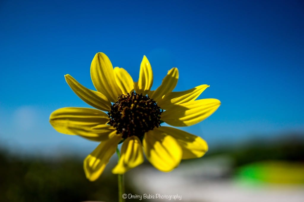 Black Eyed Susan by Dmitry Bubis